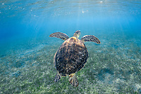 green sea turtle, Chelonia mydas, endangered species, Wadi El Gamal National Park, Marsa Alam, Egypt, Red Sea, Indian Ocean