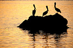 Sea of Cortez, Baja California, Mexico; three Brown Pelican (Pelecanus occidentalis) birds standing on a rock outcropping in the water, silhouette against the reflection of an orange sunset sky