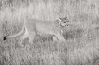 Puma (Puma concolor) blends into the grassy landscape.  This sepia treatment has enough contrast to make her stand out just a bit.