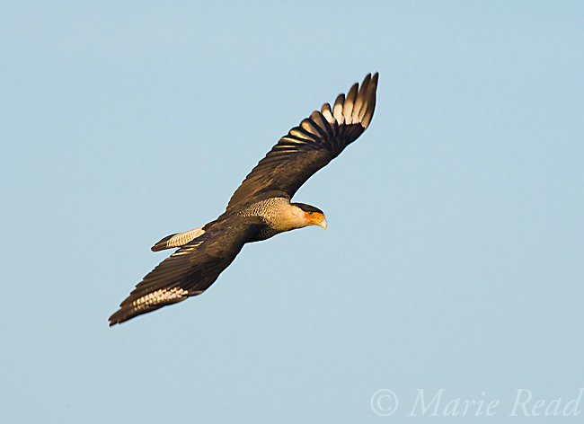 Crested Caracara (Caracara cheriway), adult in flight, Viera, Florida, USA
