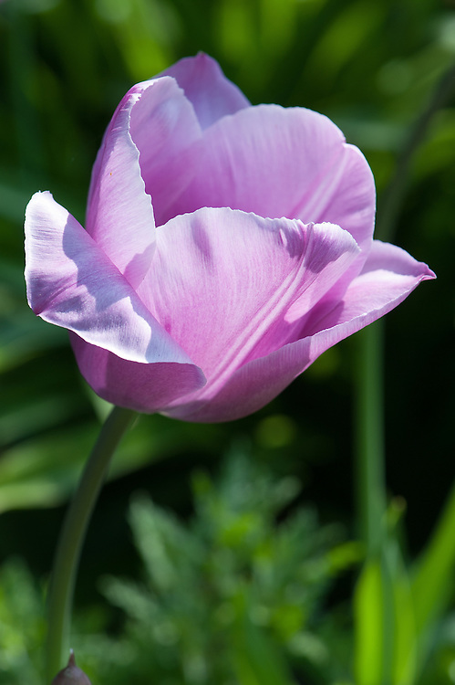Tulip 'Violet Beauty' (Single Late Group), late April.
