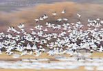 Snow Geese (Chen caerulescens) flock taking flight, pan-blur at slow shutter speed for artistic effect, winter, Bosque Del Apache National Wildlife Refuge, New Mexico, USA