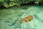 Green sea turtle, Caribbean Sea, Panama