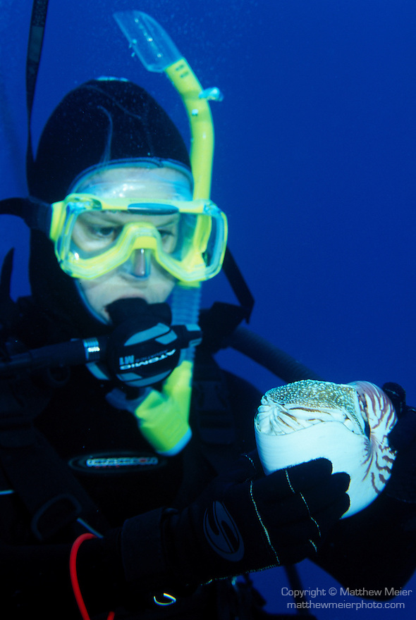 Milne Bay, Papua New Guinea; a Chambered Nautilus (Nautilus pompilius) is held by a scuba diver, they grow to 20 cm (8 in.), live along deep slopes of coral reefs to 2000 meters, found in Philippines, south through Indonesia to Australia and east to Fiji Islands , Copyright © Matthew Meier, matthewmeierphoto.com