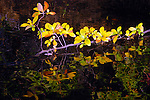 Sweetpepper bush branch over pond in Fall.