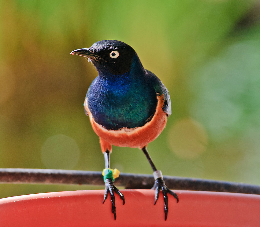 Superb starling, photographed at the San Diego Wild Animal Park