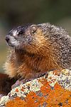 Yellow-bellied Marmot (Marmota flaviventris), Yellowstone NP, WY, USA