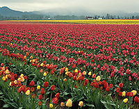 Large field of red tulips, interspersed with yellow  merges with pink and yellow tulipfields by a barn along the rainy foothills of the Cascade Mountains. Skagit Valley, Washington State. Photographed on Velvia 50 film in 6X7 format.