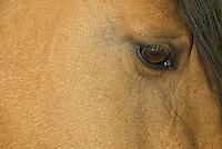 Wild Horse or feral horse (Equus ferus caballus).  Western U.S., summer.