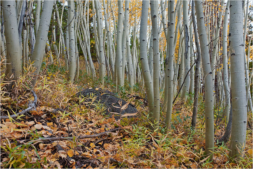 I try to find unusual perspectives in some of the Colorado images I produce. The Aspen tree trunks were found just outside of Fraser, Colorado, along a dirt road. This road normally closes during the winter, so fortunately the snows hadn't fallen yet and I was able to access this location.