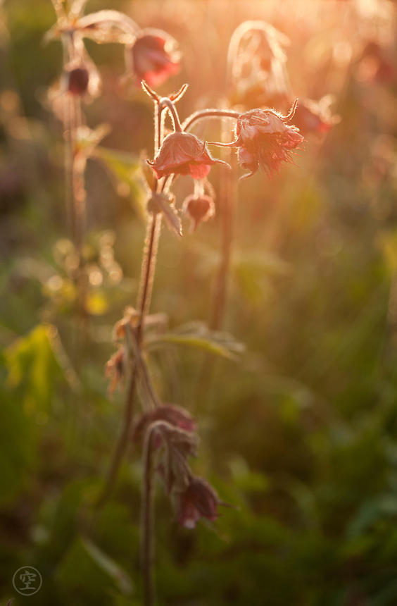 Water Avens blooming in the sunset light.