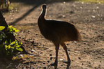 Cassowary chick with dad nearby. Dad shows by actions and his chick follows. Southern cassowary (Casuarius casuarius) also known as double-wattled cassowary, Australian cassowary or two-wattled cassowary.