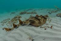 southern fiddler ray, or banjo shark, Trygonorrhina fasciata, Port Phillip Bay, Victoria, Australia (do)