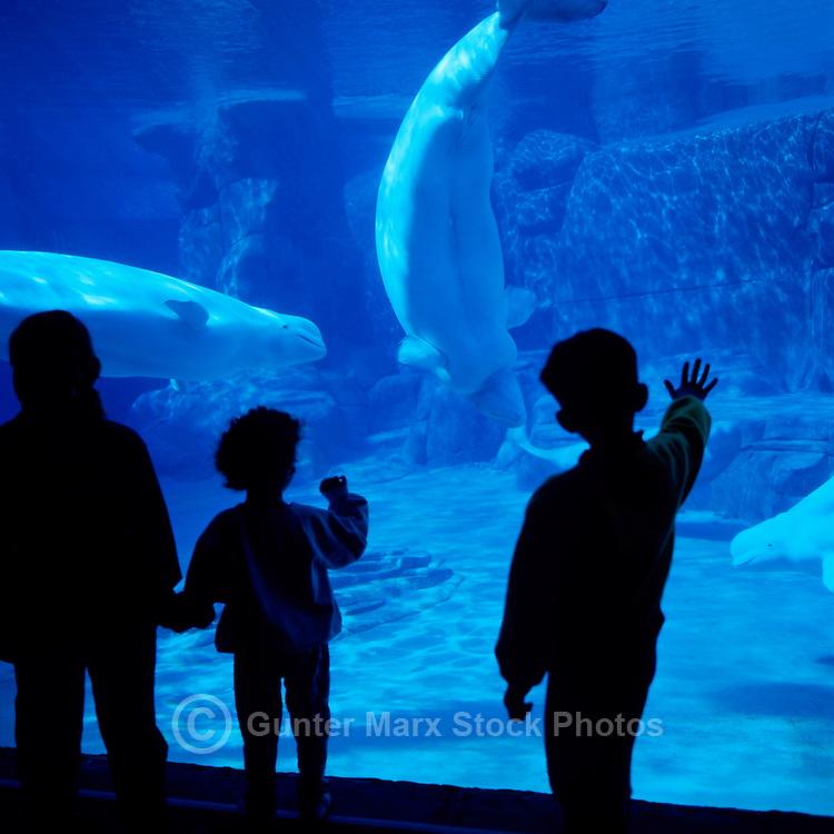Vancouver Aquarium, Stanley Park, Vancouver, BC, British Columbia, Canada - Children watching Beluga Whale (Delphinapterus leucas) - Silhouette