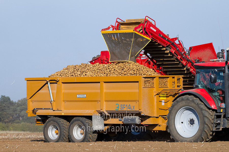 Harvesting Fontain potatoes with a Grimme Varitron 220 harvester fitted with a fall breaker - October, Norfolk