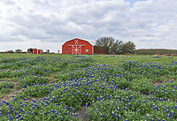 Another capture of this Red Barn in Brenham Texas with  bluebonnets field off of Chappel Hill road. The sky was a bit moody so we thought it would be worth an attempt to capture a wildflower scene. We captured this red barn with this field of bluebonnets in front. In any case it was still a good capture of Texas wildflowers for the day. Bluebonnets are alway a plus when you can find a good field like this in spring.