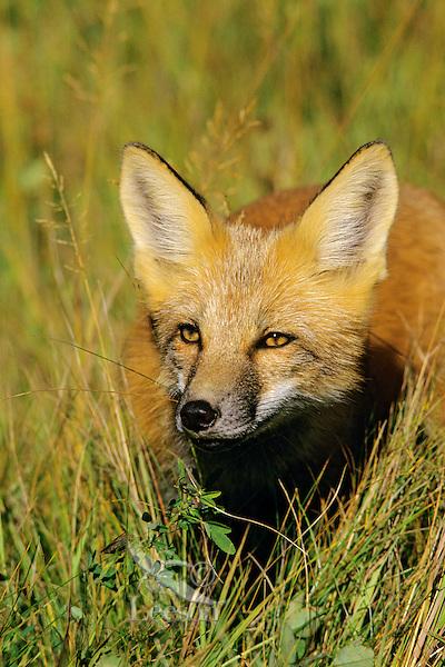 Red Fox (Vulpes Vulpes) Western N.A Fall.