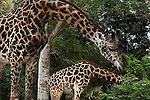 A mother and her baby Giraffe at the SanDiego Zoo.