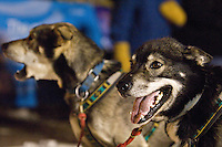 Sled dogs wait for the start of the UP 200 Sled Dog Championship race in downtown Marquette Michigan.