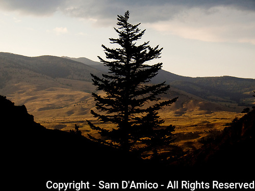 Rights Manged Stock Photography - A Lone Pine Tree Silhouetted. Yellowstone National Park