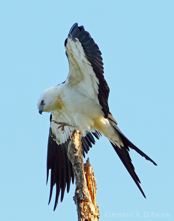 Juvenile swallow-tailed kite. Scratching an itch?