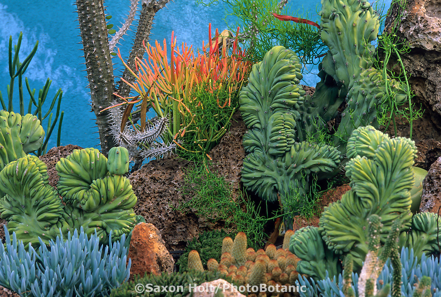 "Whimsical ""Undersea Garden"" of succulents designed by Jeff Moore at San Diego Botanic Garden - with Dinosaur Back Cactus (Myrtillocactus geometrizans crest), Mammillaria cumpressa and Senecia serpens (blue)."