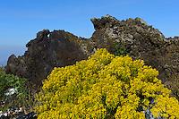 Gemeines Steckenkraut vor Lava am Etna, Sizilien, Italien , UNESCO-Weltnaturerbe