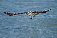 Osprey with catch.