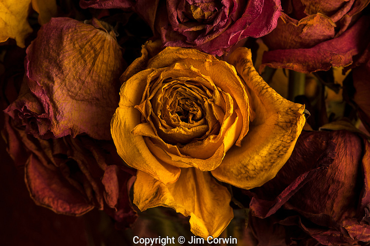 Multicolored roses wilting in glass vase with warm window light