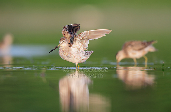 Long-billed Dowitcher (Limnodromus scolopaceus), adult landing, Dinero, Lake Corpus Christi, South Texas, USA
