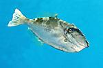 Aluterus monoceros, Unicorn filefish, Florida Keys