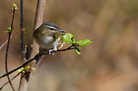 The Red-eyed Vireo is heard far more than it is seen. It sings continuously from the forest canopy from dawn to dusk. The vireo's song is a series of phrases inter-spaced with short pauses, like the song of an American Robin broken into pieces.