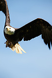 ALASKA, Homer, a bald eagle in flight near Beluga Lake off on Lake Road