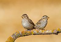 Rock Sparrow - Petronia petronia