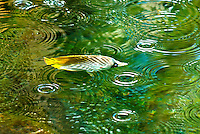 On a sunny day, rain drops produce ripples in a fishpond as a kikakapu (or Hawaiian butterflyfish) swims by, Big Island.