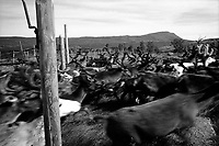 SWEDEN / Parka / 11.08.2000..Reindeer at the autumn herd separations at a camp near Jokkmokk, Sweden above the Arctic Circle. The Saami are Northern Europe's indigenous people and live in each of the Scandinavian countries as well as on the Kola Peninsula in Russia. Since being subjugated by the Norwegian and Swedish governments in the 1600s and converted to Christianity, they continue to fight an uphill battle to retain their grazing lands and traditional way of life. ?.© Davin Ellicson / Anzenberger