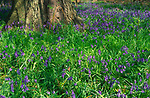 AF5CR0 Bluebells and base of tree trunk deciduous woodland Suffolk England