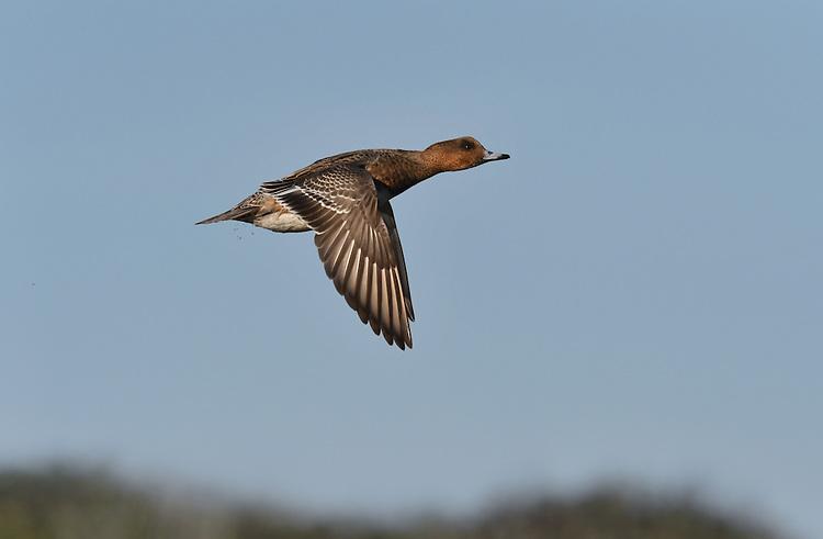 Wigeon - Anas penelope - female