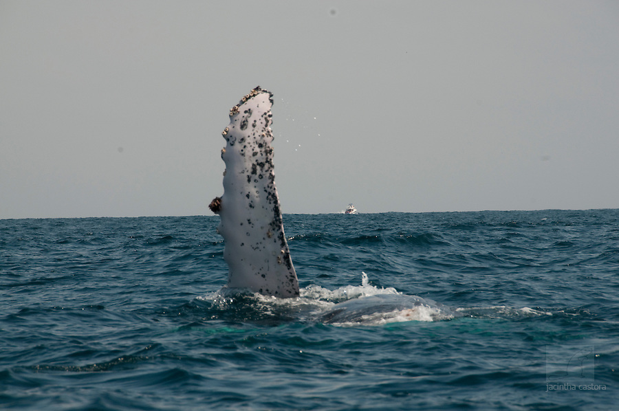 this humpback whale is swimming in the coastal waters of puerto lopez ecuador and showing his flopper