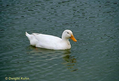 DG13-032x  Pekin Duck - young duck swimming