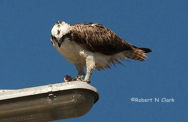 Osprey on light pole