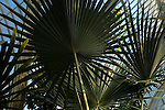 Palms at the Palm House, Royal Botanic Gardens, Kew, London UK