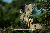00684-02805 Great Blue Heron (Ardea herodias) male bringing branch to female at nest FL