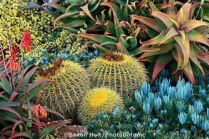 California drought tolerant succulent garden with Golden barrel cactus,  Echinocactus grusonii, Aloe elgonica, A. cameronii, Senecio; design Jeff Moore