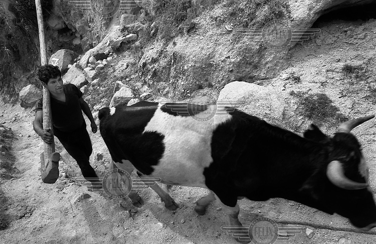 A man drives a cow and carries a wooden plough on the Inca Trail to Machu Picchu...