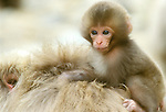 Asia, Japan, Nagano, Jigokudani, Snow Monkey Baby on Mother's Back (Macaca fuscata)