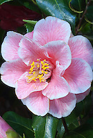 Pink Picotee flower of Camellia japonica 'Yours Truly'