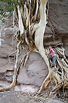 Sophie Marshall, age 9 climbs roots of fig tree growing wild in canyon near Luigi, Mexico in Baja Sur.  February
