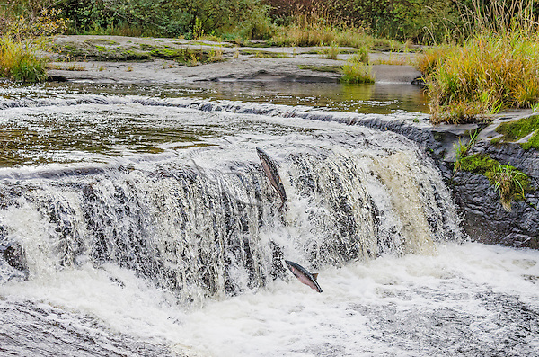 Wild Coho or Silver Salmon (Oncorhynchus kisutch) on fall spawning migration, jumping small waterfall.  Pacific Northwest.  October.  Wild fish not hatchery fish.  Digital composite--added fish just starting its jump.
