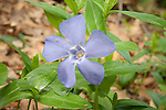 Periwinkle (Vinca minor) in Essex, Massachusetts